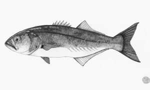 Atlantic-Bluefish-lo-res-and-scarred-1000-pix