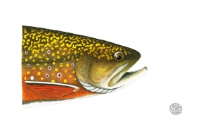 Brook-Trout-Head-Study--lo-res-and-scarred-1000-pix