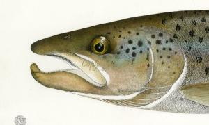 Landlocked-Atlantic-Salmon-Head-study-lo-res-and-scarred-1000-pix