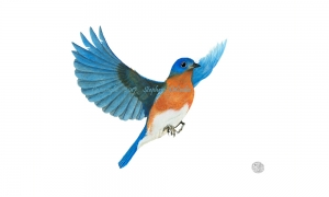 Male-eastern-Bluebird--in-flight-lo-res-and-scarred-1000-pix