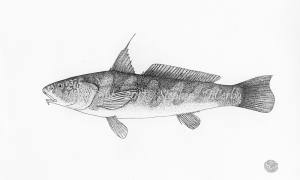 Northern-Kingfish-lo-res-and-scarred-1000-pix