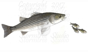 Striped-Bass-and-Menhaden-lo-res-and-scarred-1200-pix