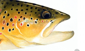 brown-trout-head-study-lo-res-and-scarred-1000-pix