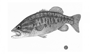 smallmouth-bass-turning-lake-george--lo-res-and-scarred-1000-pix