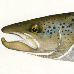 Landlocked Atlantic Salmon Head study