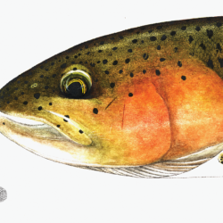 rainbow trout head study